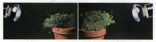 Ріст рослини в бік освітлення. фото