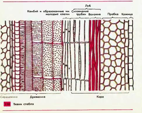 В зеленых клетках ткани