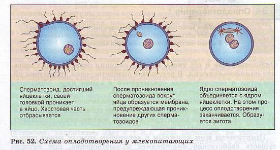 skolko-dney-podvizhnost-spermi-sohranyaetsya