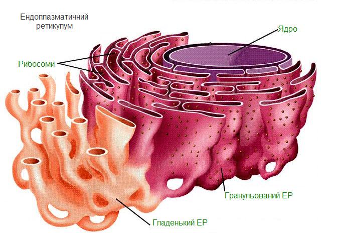 Ретикулум фото