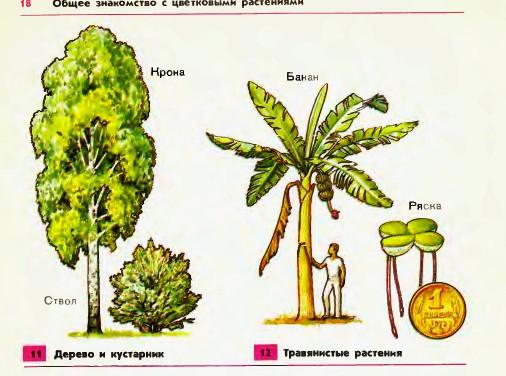 Деревья — это обычно крупные растения