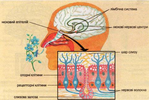 Схема будови нюхової сенсорної