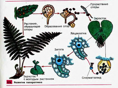 В клетках листьев папоротников