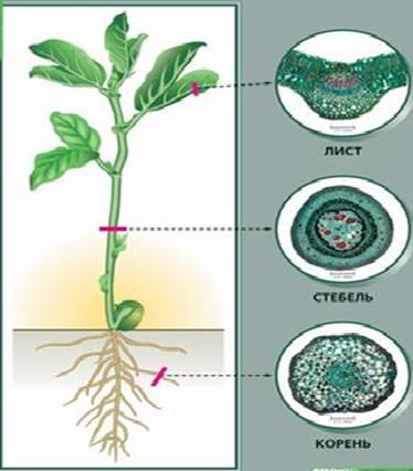 Клітинна будова рослин.