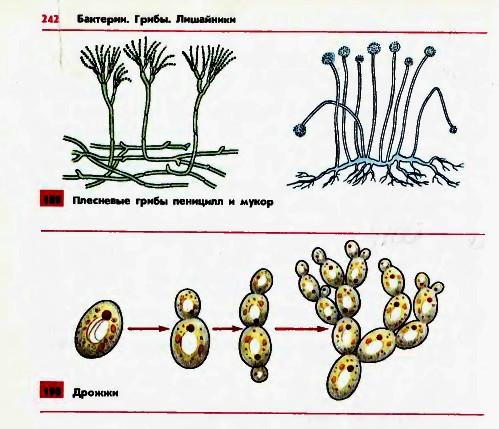 Плесневые грибы и дрожжи