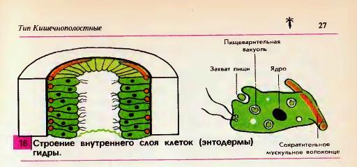 внутреннего строения гидры