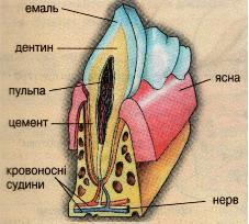 Мал.2. Будова зуба