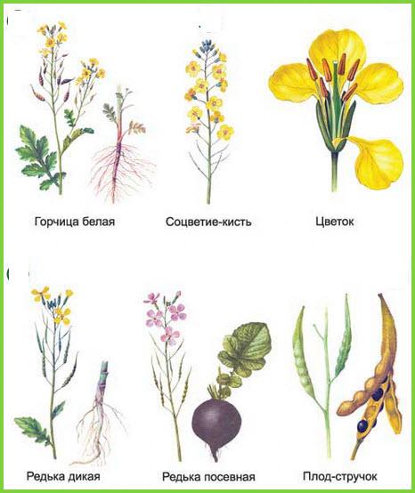 """Картинка 11 из презентации  """"Двудольные растения """" к урокам биологии на тему  """"Виды растений """"."""