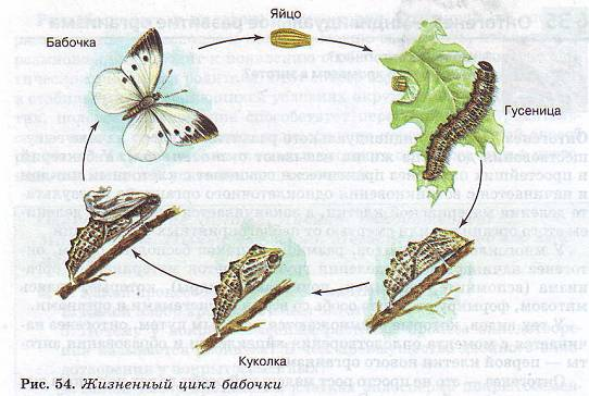 Яйцекладный тип онтогенеза