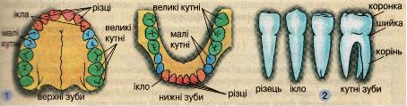 Розташування (1) і види (2) зубів