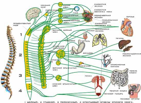 Автономная нервная система.
