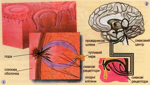 Схема будови смакової