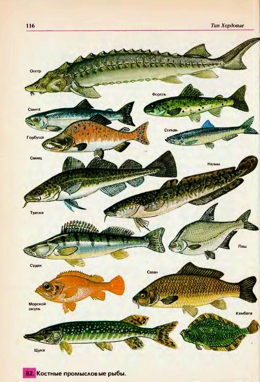 семейства карповых рыбы картинки