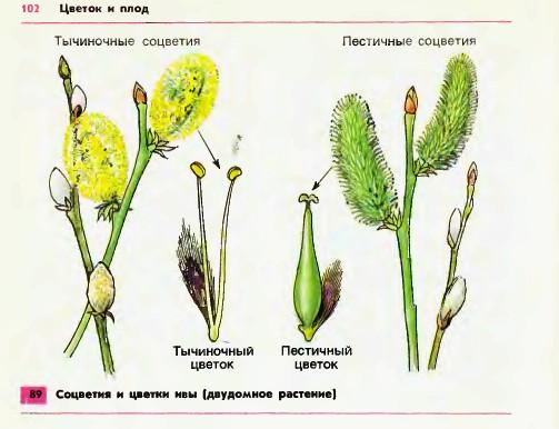Соцветия, и цветки