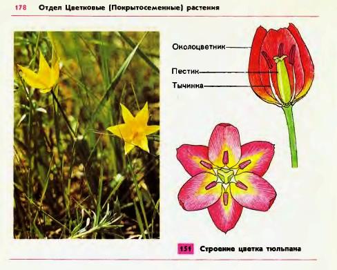 Для цветков некоторых лилейных