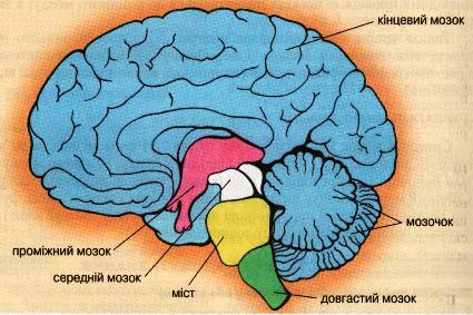 Складові головного мозку