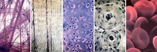 Сполучні тканини. зліва направо: пухка