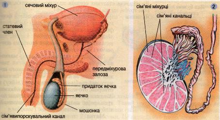 Чоловічі статеві органи (1). Будова яєчка (2)