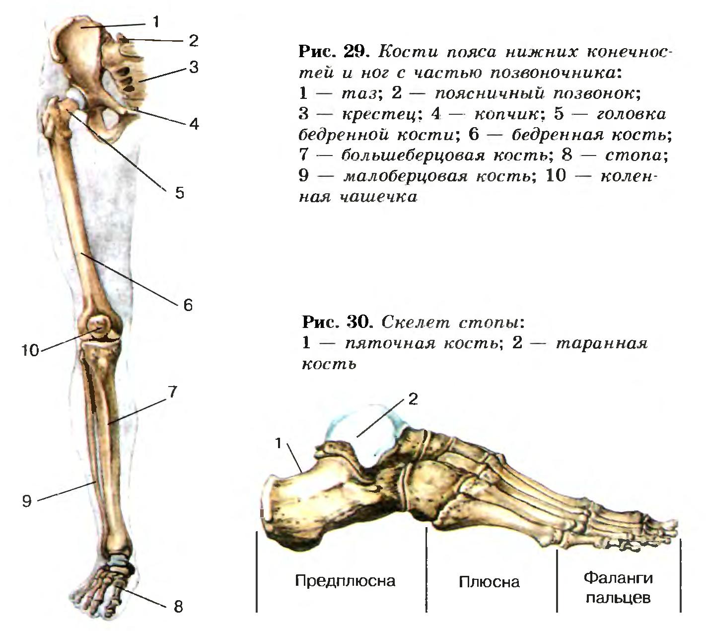 характеристика суставов свободных нижних конечностей