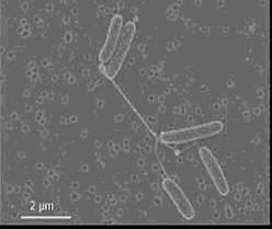 Бактерії бродіння та фотосинтезу.