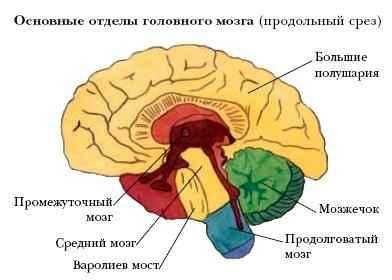 Рис. 1. Головной мозг.: school.xvatit.com/index.php?title=Строение...