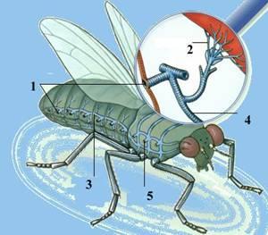 Дихальна система комах