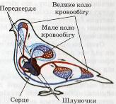 Кровоносна система птахів
