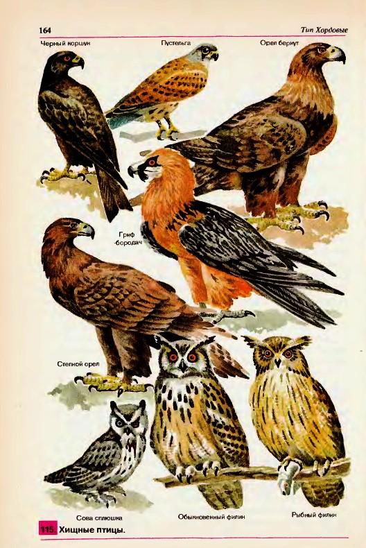 Хищные птицы — гипермаркет знаний