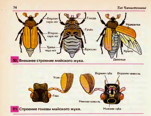 конечности у майского жука