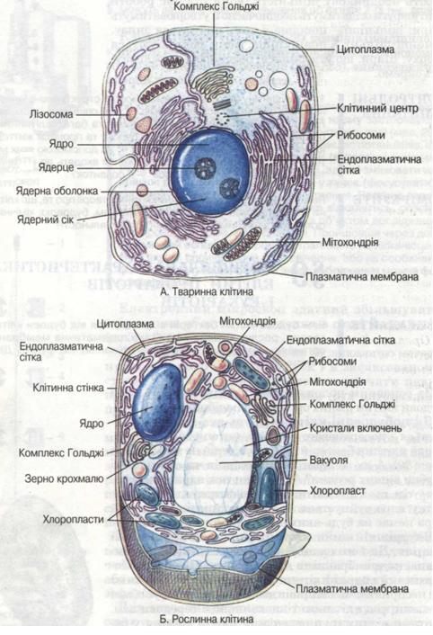 Схема будови тваринної (А) і