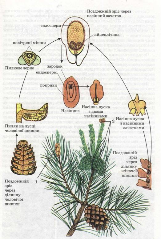 Схема розмноження сосни