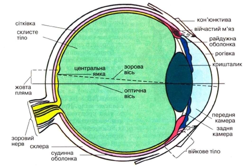 Будова ока людини схема.
