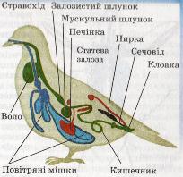 Внутрішня будова птаха