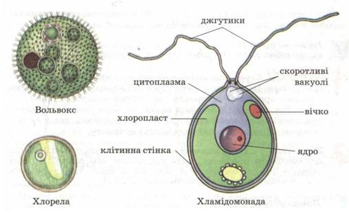 Одноклітинні зелені водорості.