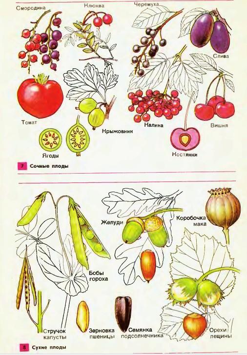 Плод фото