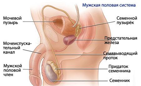 Мужская половая система живые сперматозоиды