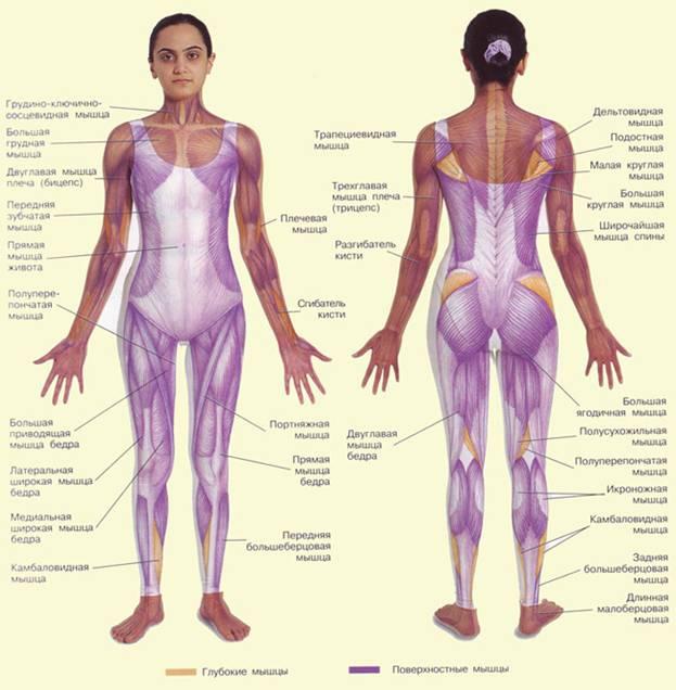 сколько суставов в организме у человека
