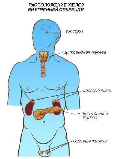 Расположение желез в организме