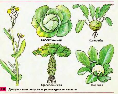 Капуста — ценная овощная