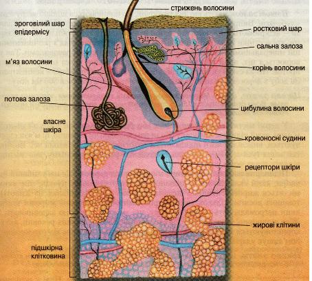 """Лабораторна робота 5  """"Будова шкіри, нігтів та волосся (макроскопічна й..."""