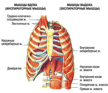 Мышцы вдоха и выдоха