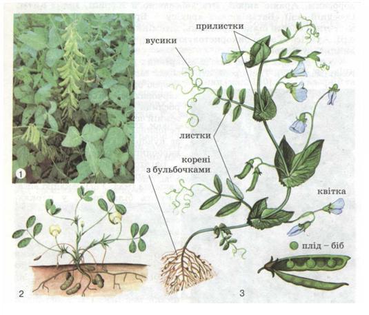 Зернобобові культури: соя (1),