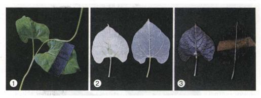 Мал. 74. Дослід, що демонструє утворення крохмалю в зелених листках на світлі.jpg