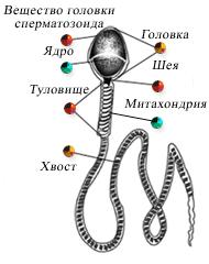 chto-vliyaet-na-aktivnost-spermatozoidov