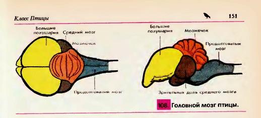 Головной мозг птицы