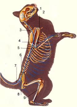 удова нервової системи у кішки