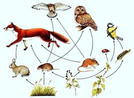 """В каждой пищевой связи (цепочке) есть """"кормильцы """"- это растения, которые снабжают всех обитателей органическими..."""