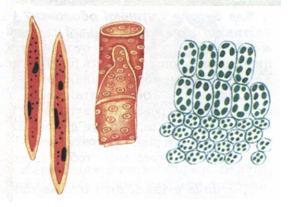 Тема 12 різноманіття рослинних клітин