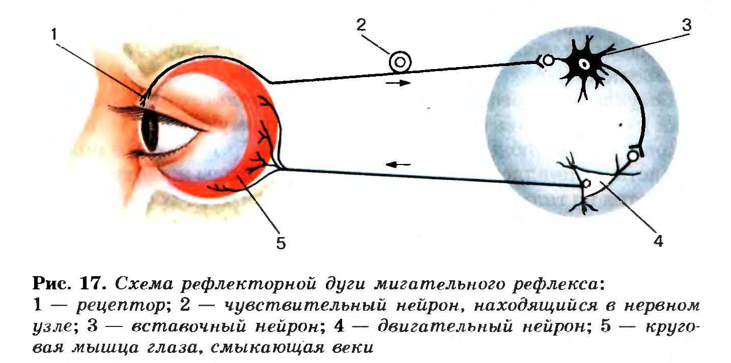 Схема рефлекторной дуги мигательного рефлекса.