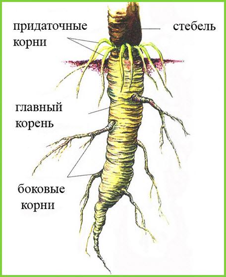 Будова кореня
